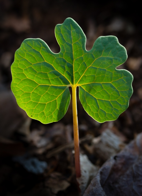 Bloodroot leaf backlit by morning sun