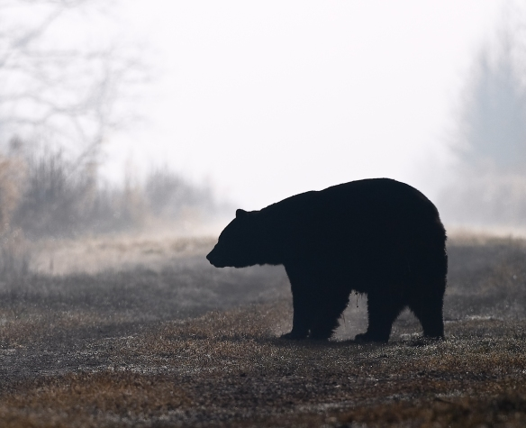 Black Bear at sunrise