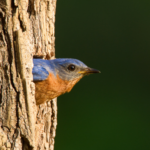Bluebird at log nest box