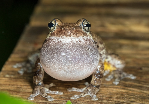 Cope's Gray Treefrog calling front view