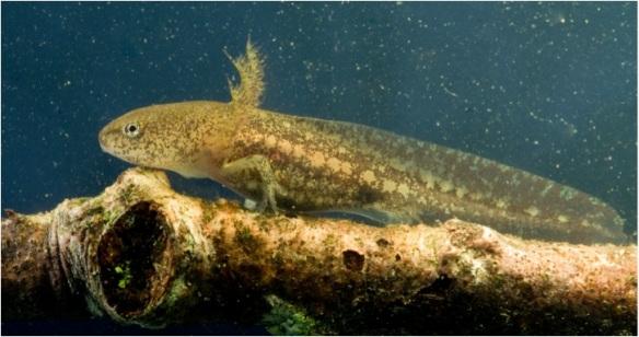 Marbled salamander larva