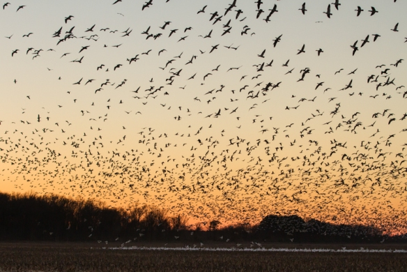 Snow Geese leaving field at sunset