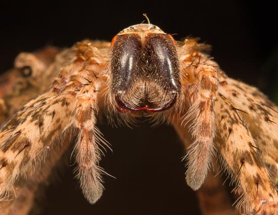 Spider shed - Dolomedes