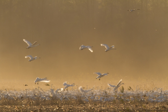 Swans in a dust cloud at sunset