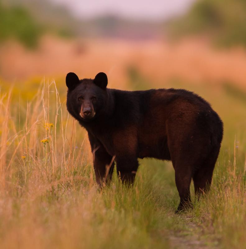 Black Bear after sunset