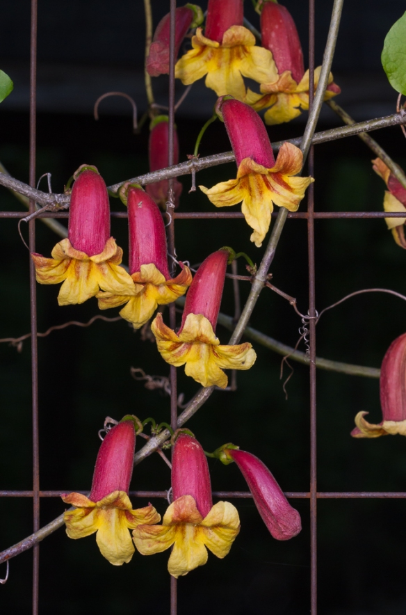 Crossvine flowers