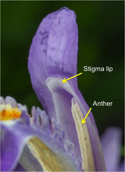 Dwarf Crested Iris flower parts
