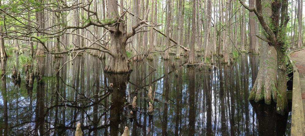 Bald Cypress trunk