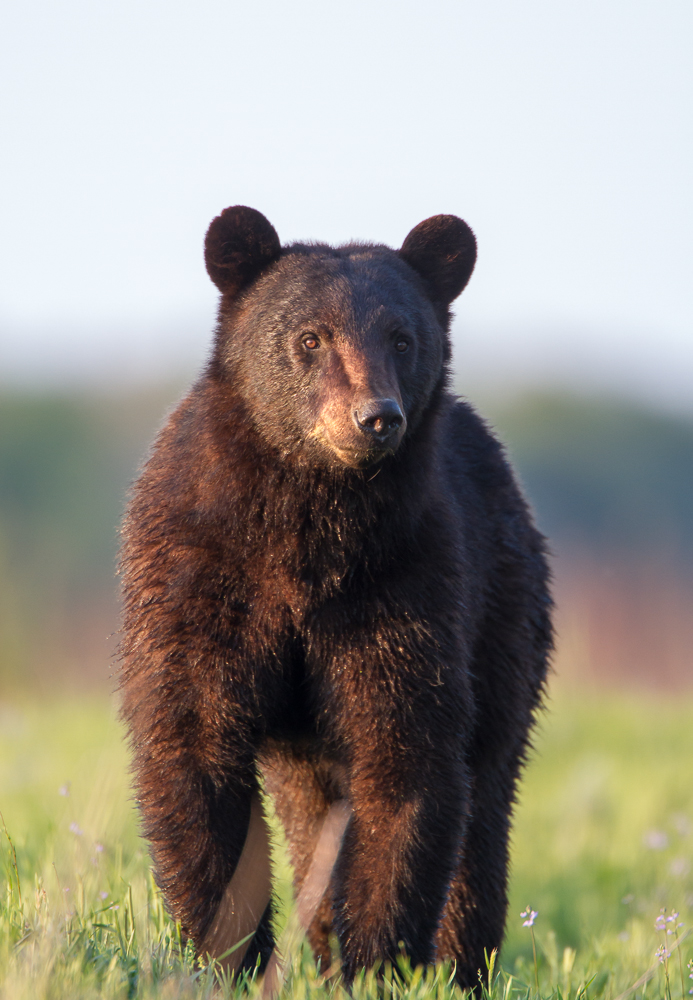 Last Black Bear of the evening