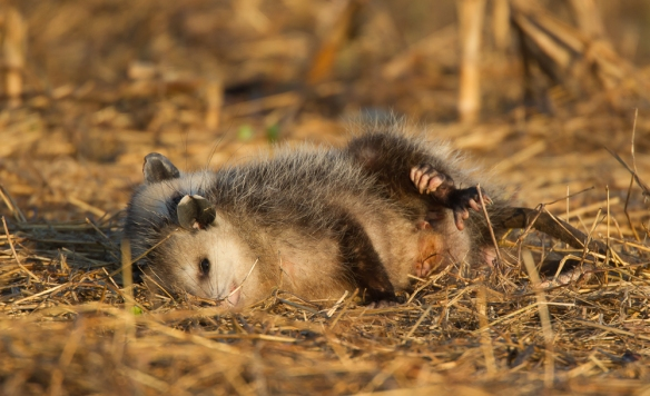 Opossums mating
