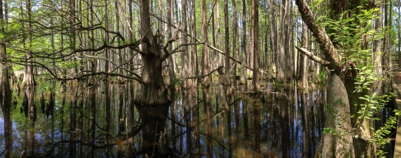 Swamp scene from Mattamuskeet boardwalk