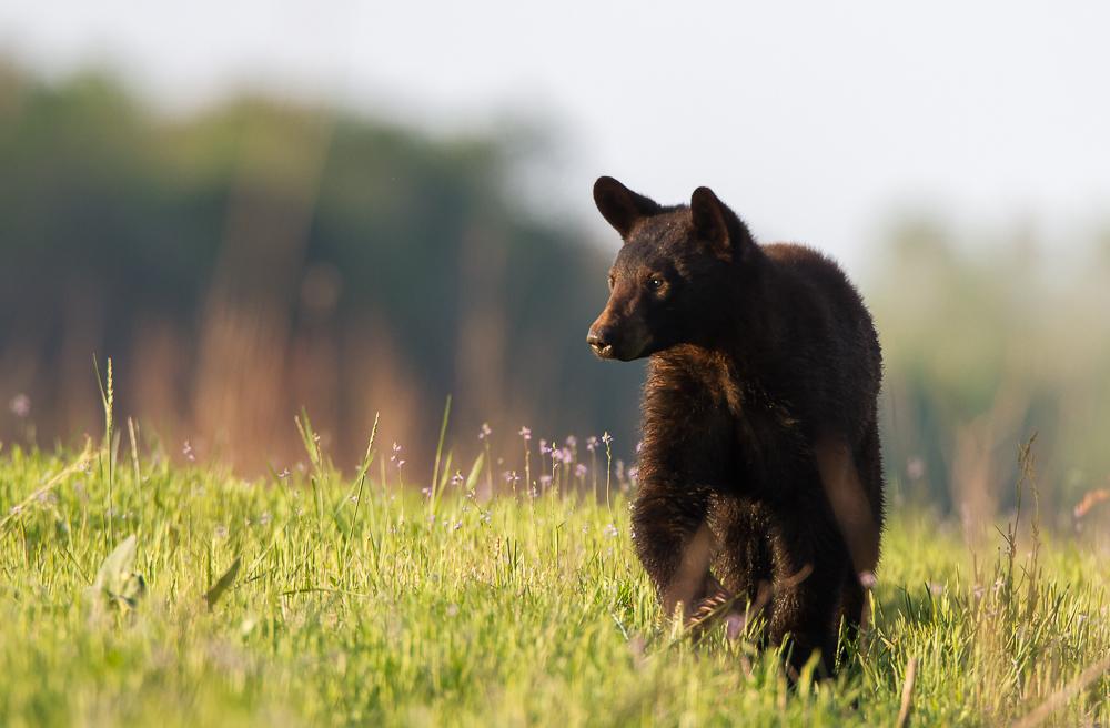Young Black Bear walking on dike