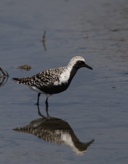 Blac-bellied Plover