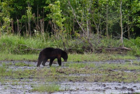 Black Bear foraging on mud flat