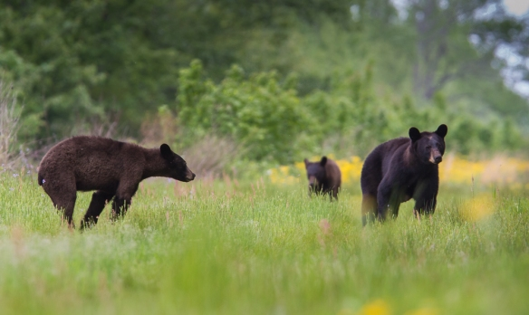 Black Bear sow and two yearlings