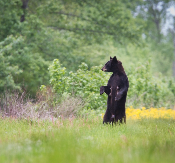 Black Bear sow checking out the surroundings