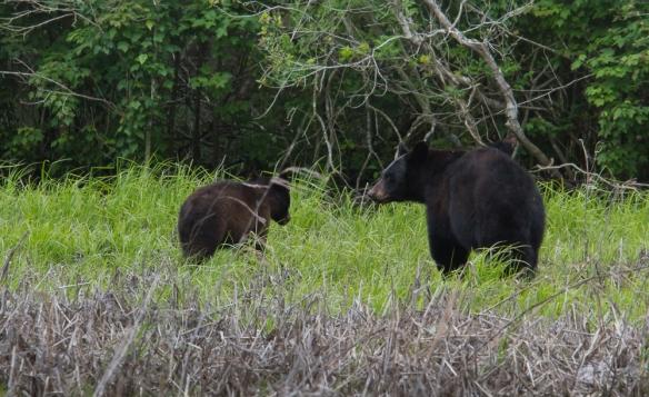 Black Bears in marsh
