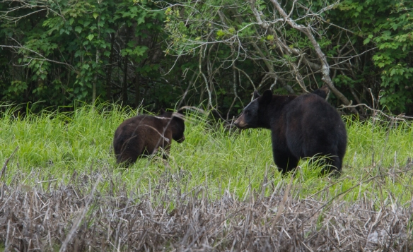 Black Bears in marsh