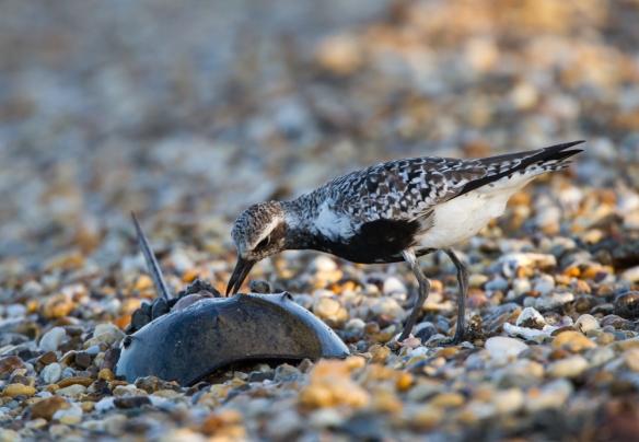 Black-bellied Plover on Slaughter Beach 2
