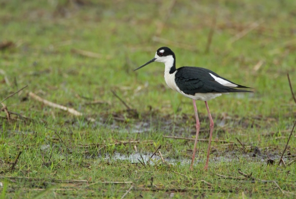 Black-necked Stilt 5