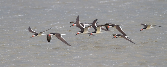 Black Skimmer flock 1