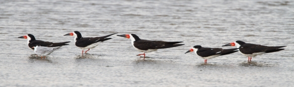 Black Skimmer flock at rest