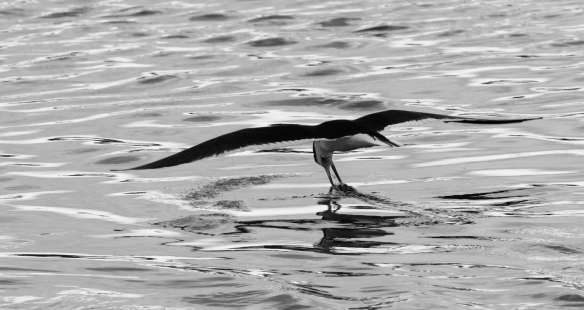 Black Skimmer in black and white