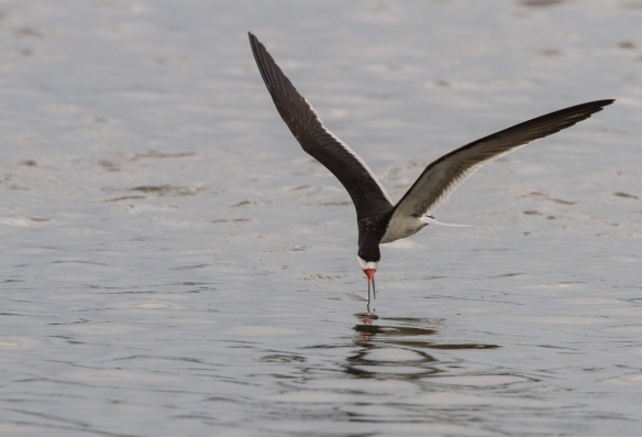 Black Skimmer skimming 3