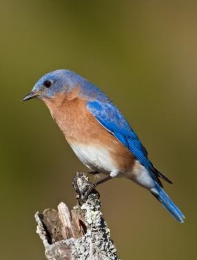 Bluebirds  RE-6