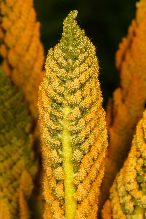 Cinnamon Fern fertile frond tip