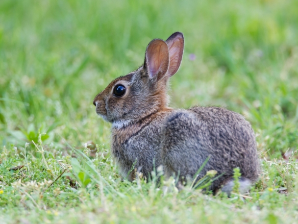 Eastern Cottontail young (click to enlarge)