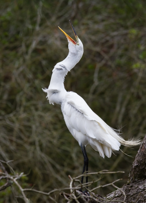 Great Egret gulping