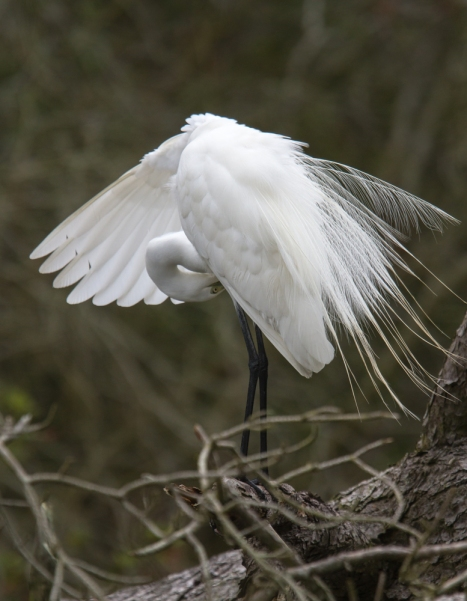 Great Egret preening 2