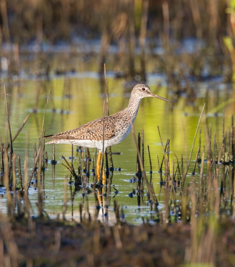 Greater Yellowlegs in impoundment at Pungo