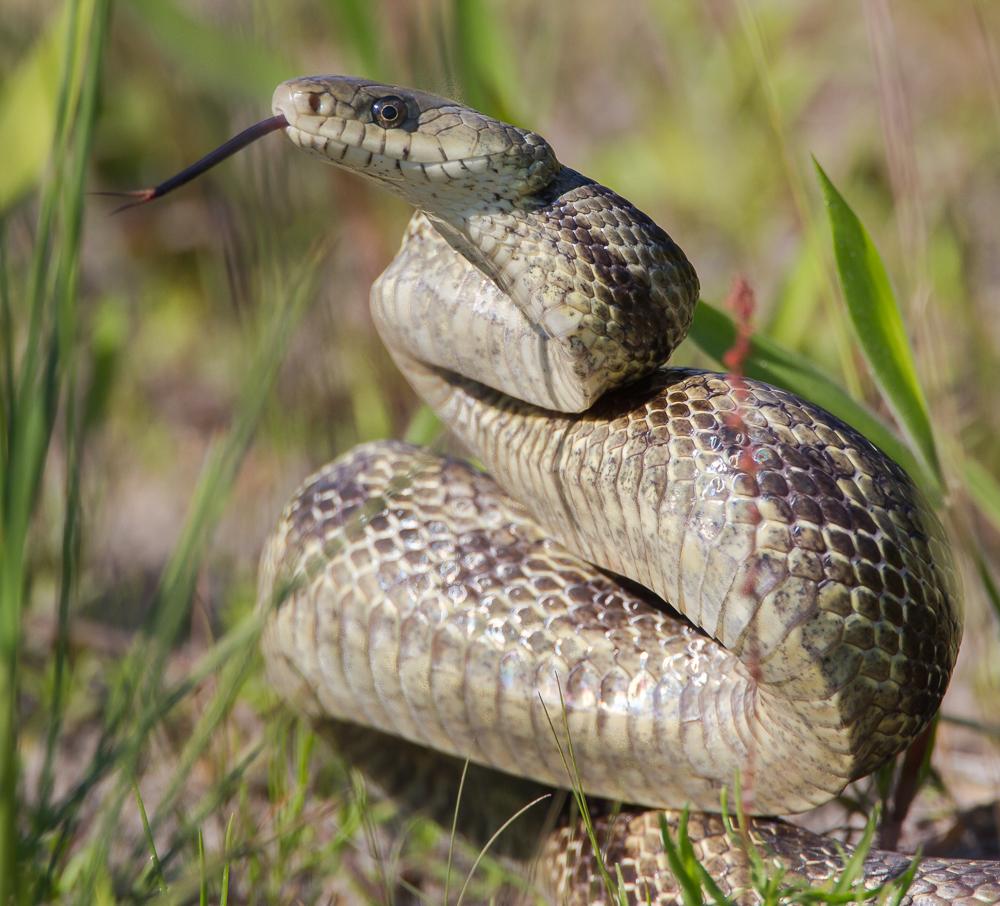 rat snake | Roads End Naturalist