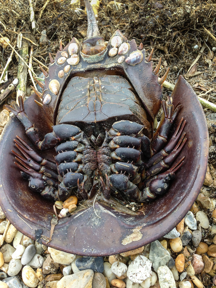 horseshoe crab | Roads End Naturalist