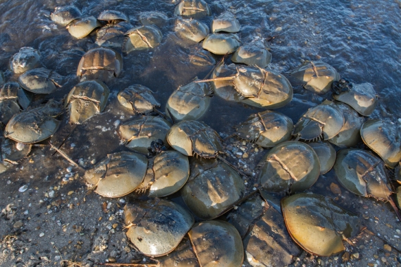 Horseshoe Crabs on Slaughter Beach 2