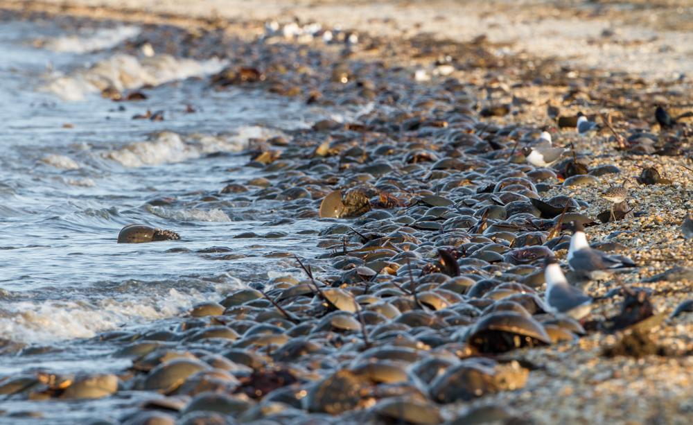 Horseshoe Crab Feeding Horseshoe Crabs on Slaughter
