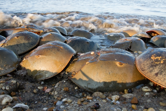 Horseshoe Crabs on Slaughter Beach low angle 3