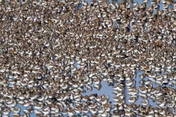 Huge peep flock