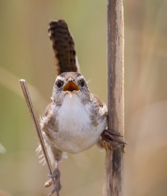 Marsh Wren male singing head-on view 2