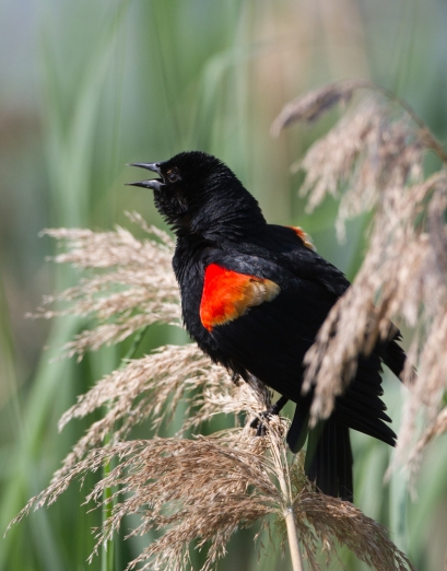 Red-winged Blackbird displaying