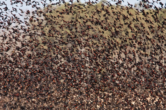 Red-winged blackbird flock