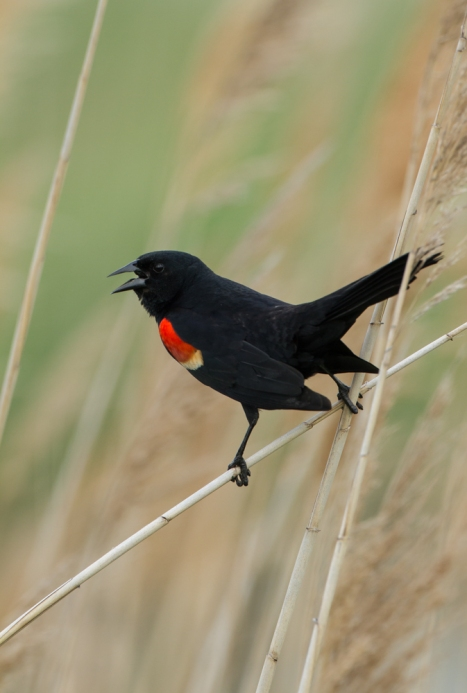 Red-winged Blackbird male on marsh grass