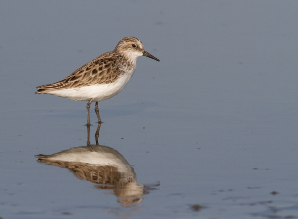 Semi-palmated Sandpiper and reflection