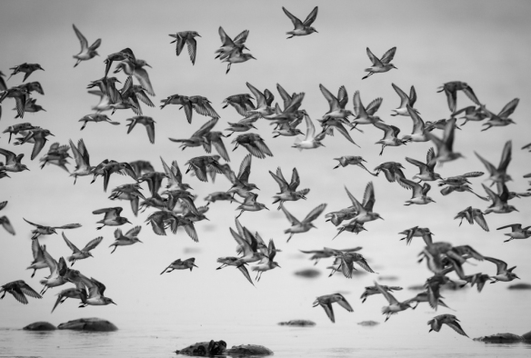 Shorebirds in flight at Slaughter Beach, DE