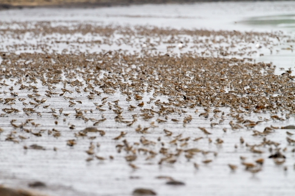 Shorebirds on Slaughter Beach feeding on Horseshoe Crab eggs 1