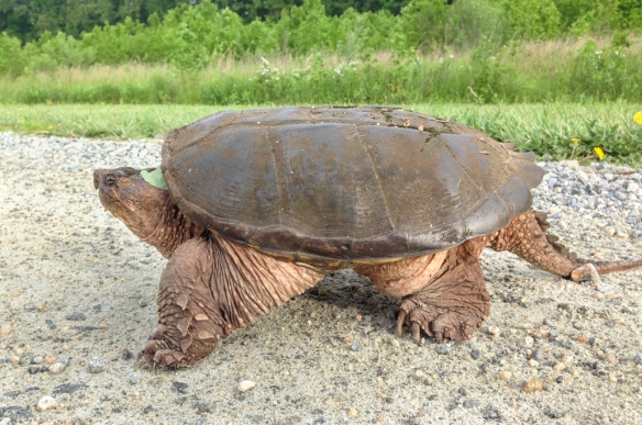 Snapping Turtle at Bombay Hook NWR