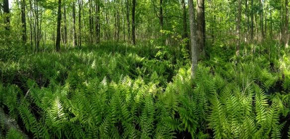 Virginia Chain Ferns in swamp