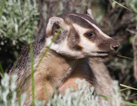 Badger adult